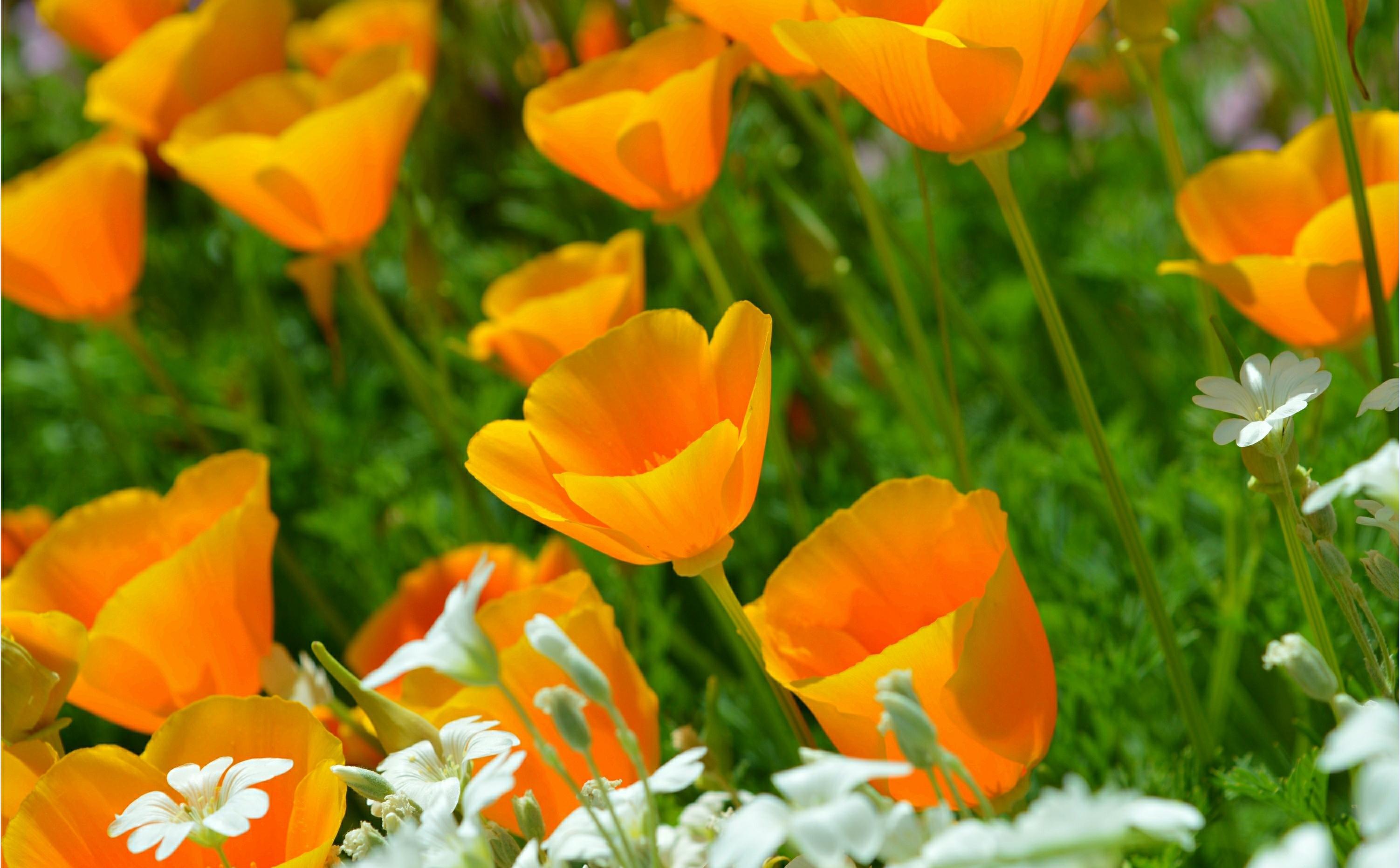 Обои цветы, Эшшольция. Цветы foto 7