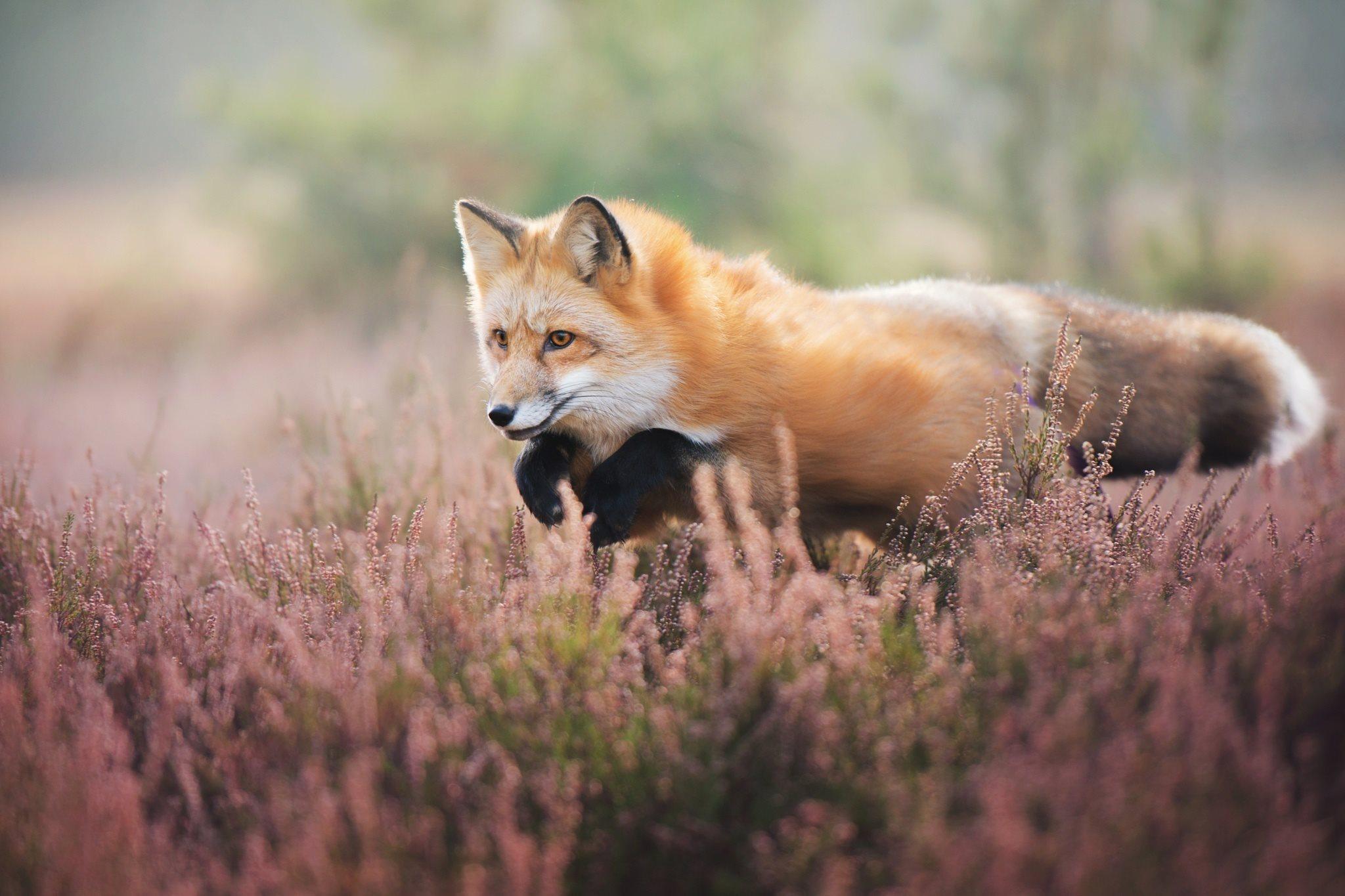 Лисица красивая картинка