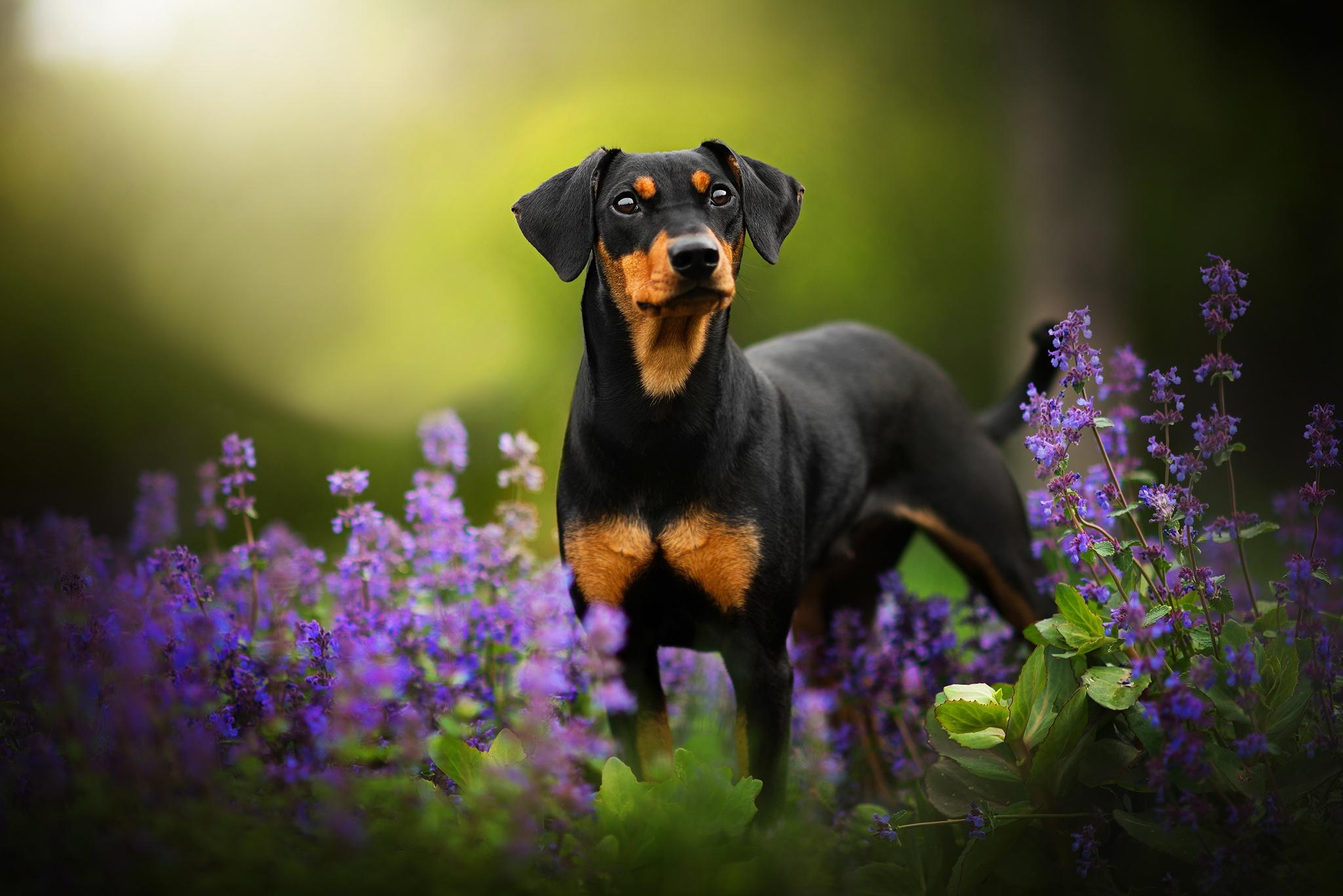 масштабные картинки собак на рабочий стол доберман бы, при воздействии