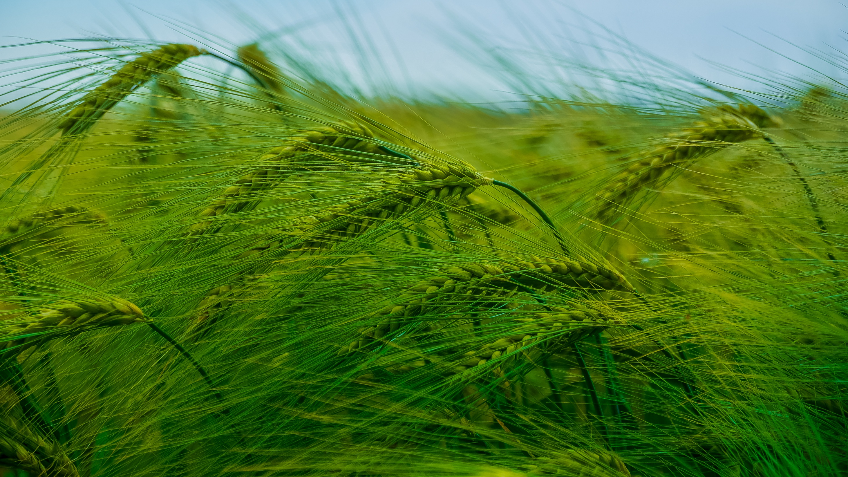 Картинка колосья зеленые