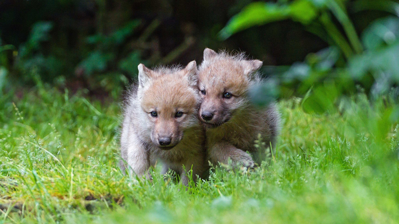 Картинка с волчатами, стим профиля готовые