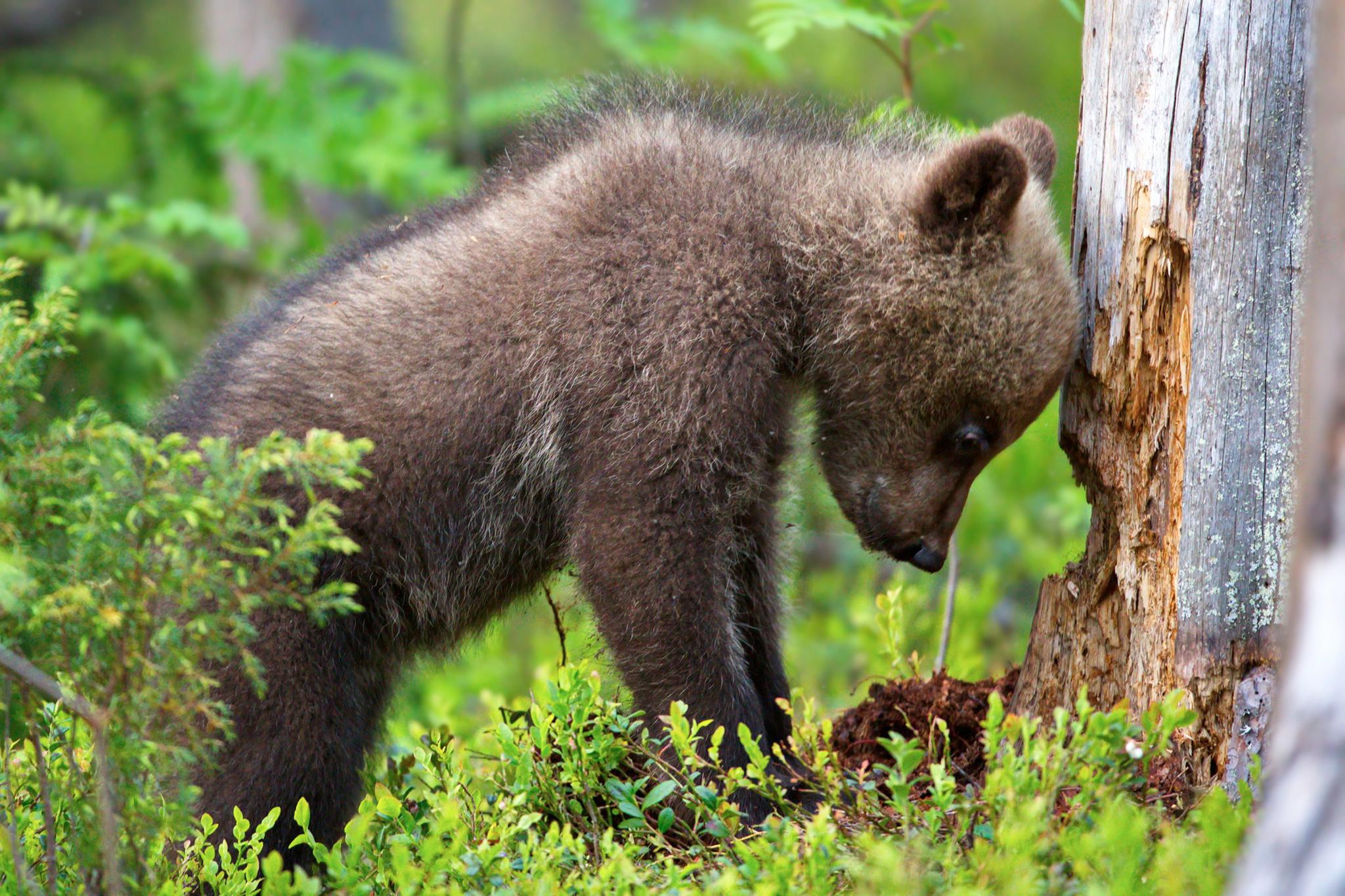 тамроном разницы красивые медвежата картинки серебряный призер