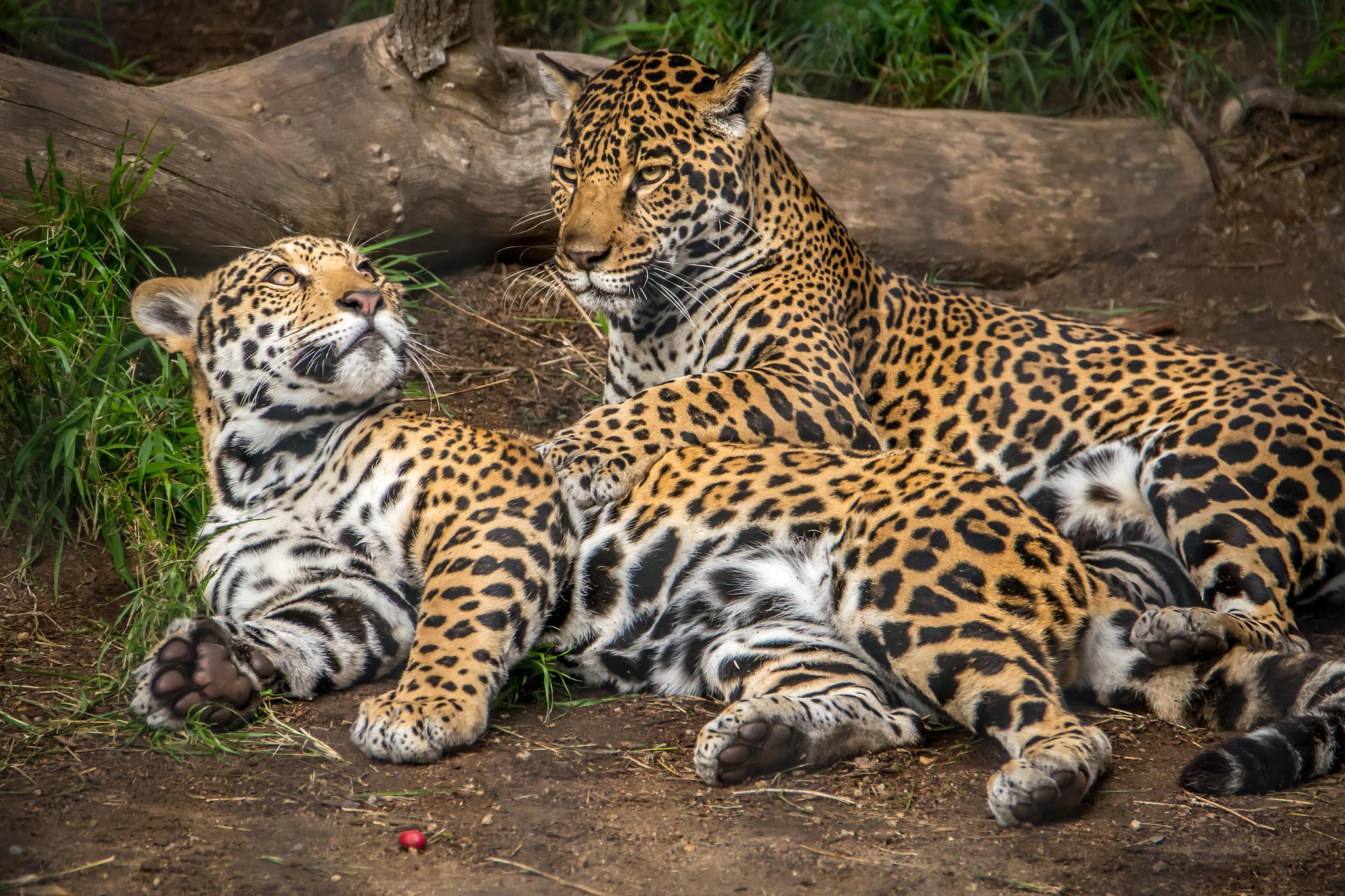 кого звезд картинки два леопарденка может начать