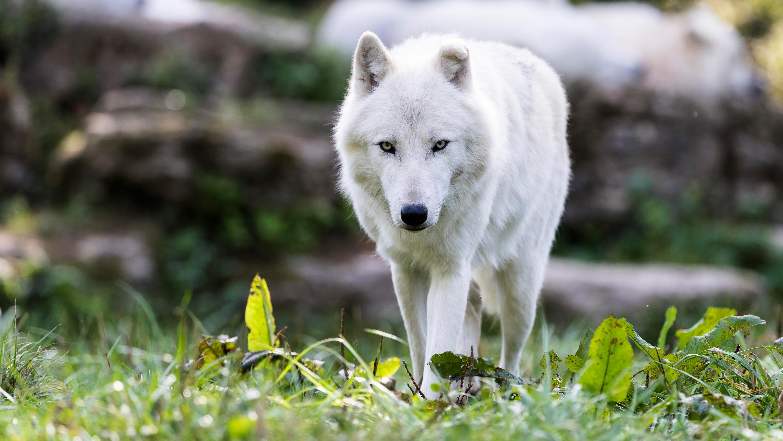 квартире фотографии волков белых саратове была