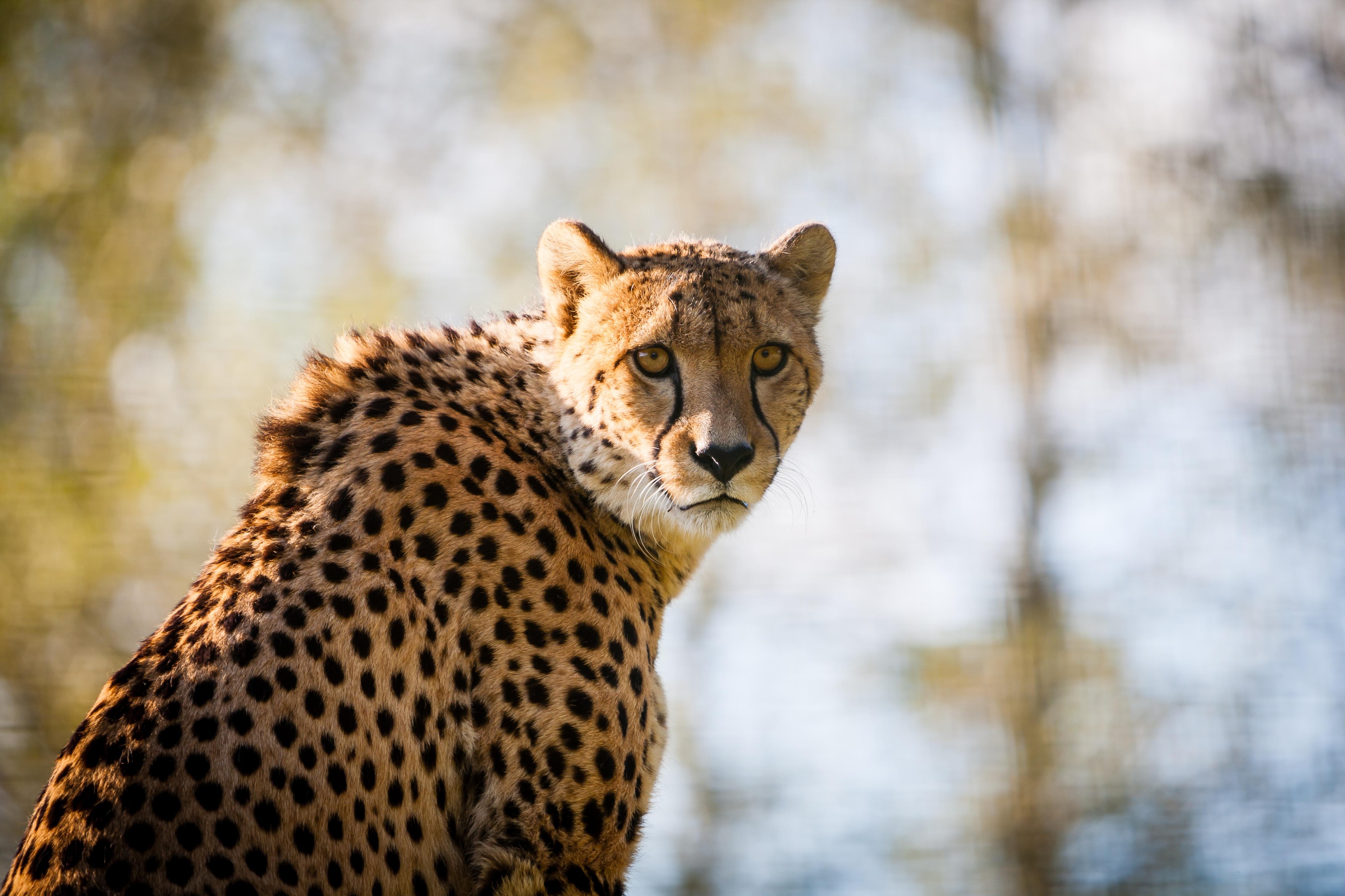 Красивые картинки с гепардом