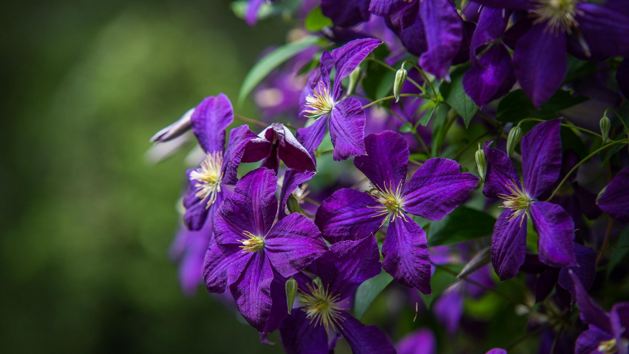 Обои Клематис, цветок. Разное foto 15