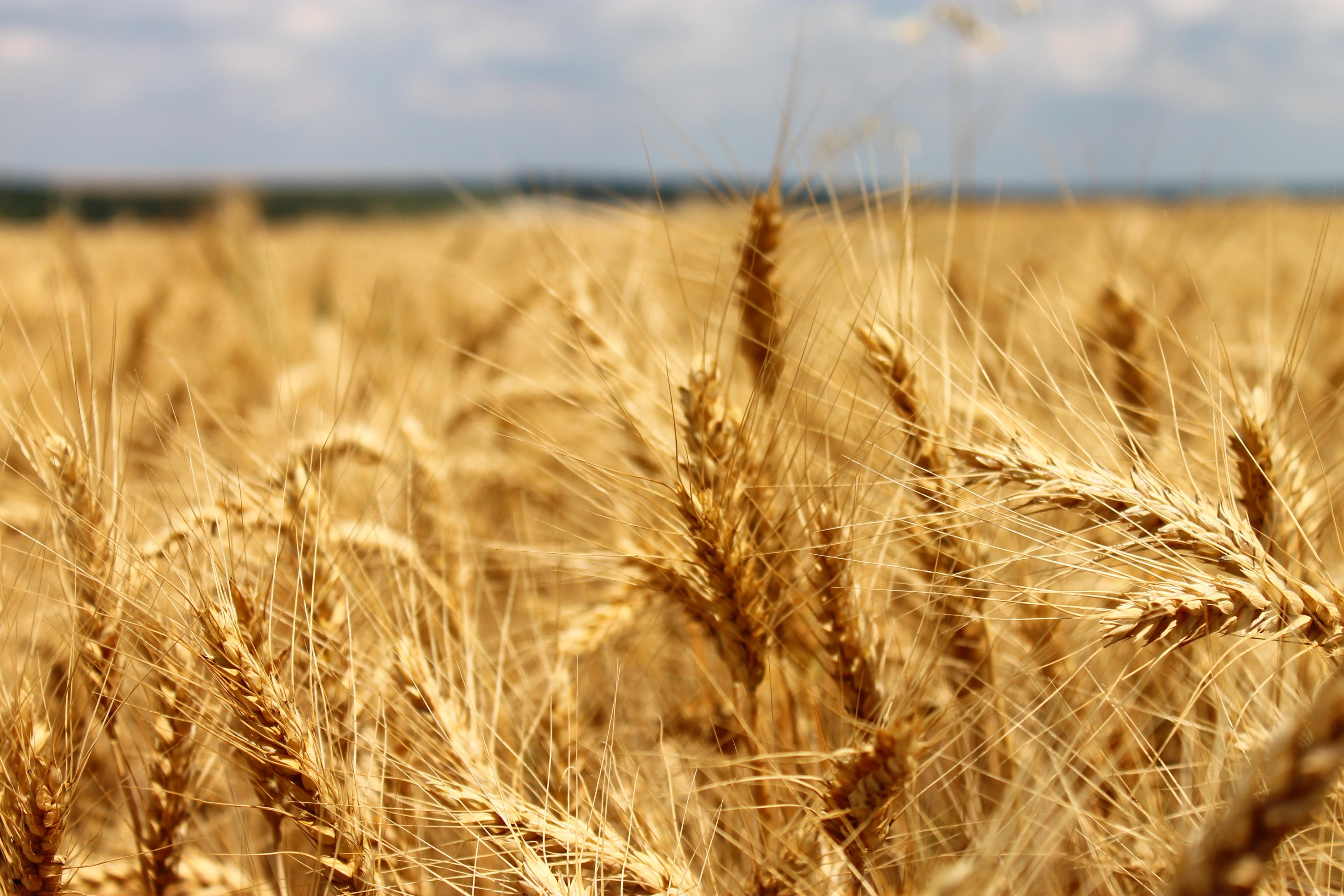 Картинки поля пшеницы
