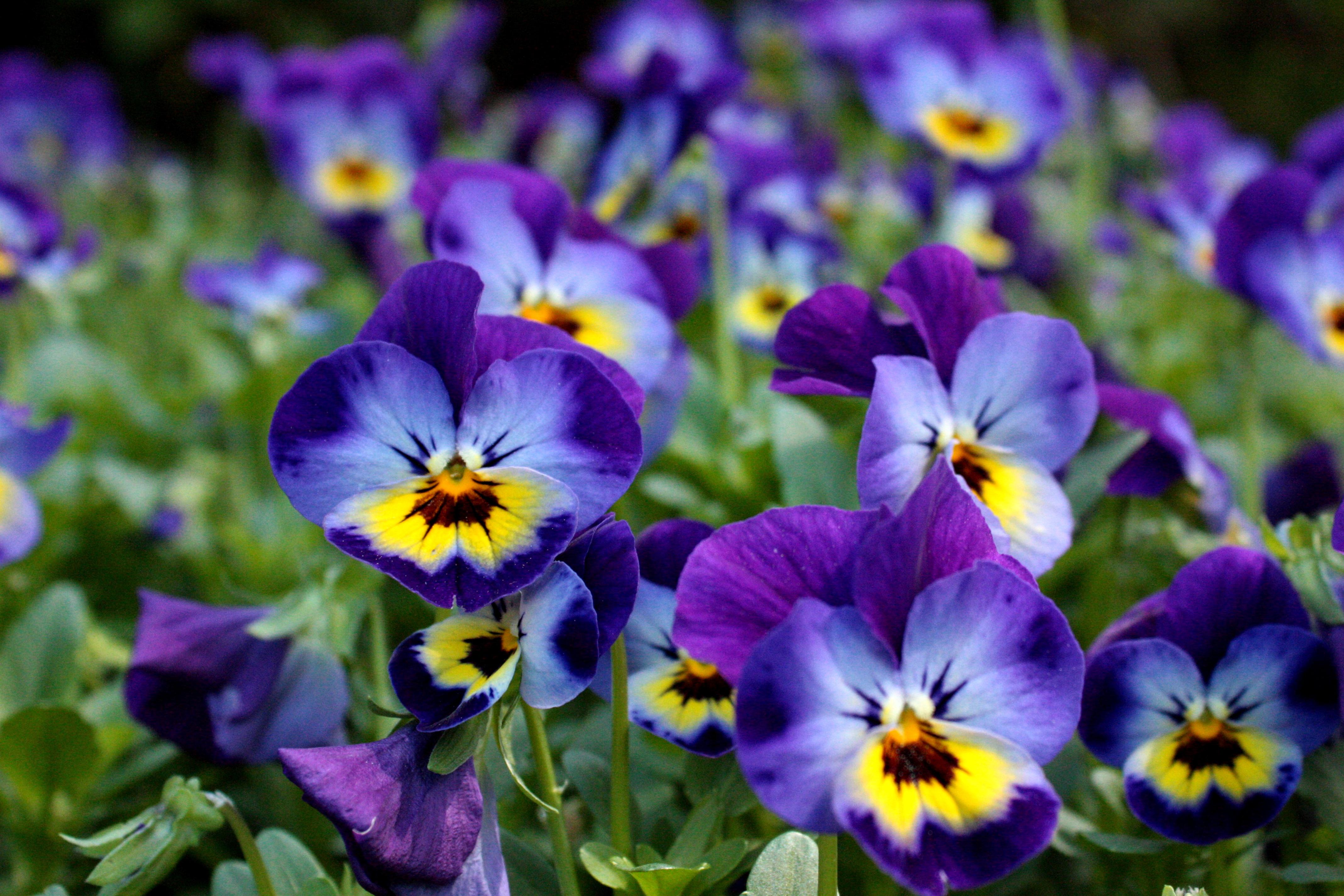 зазноба картинки на рабочий стол цветы фиалки отзывам