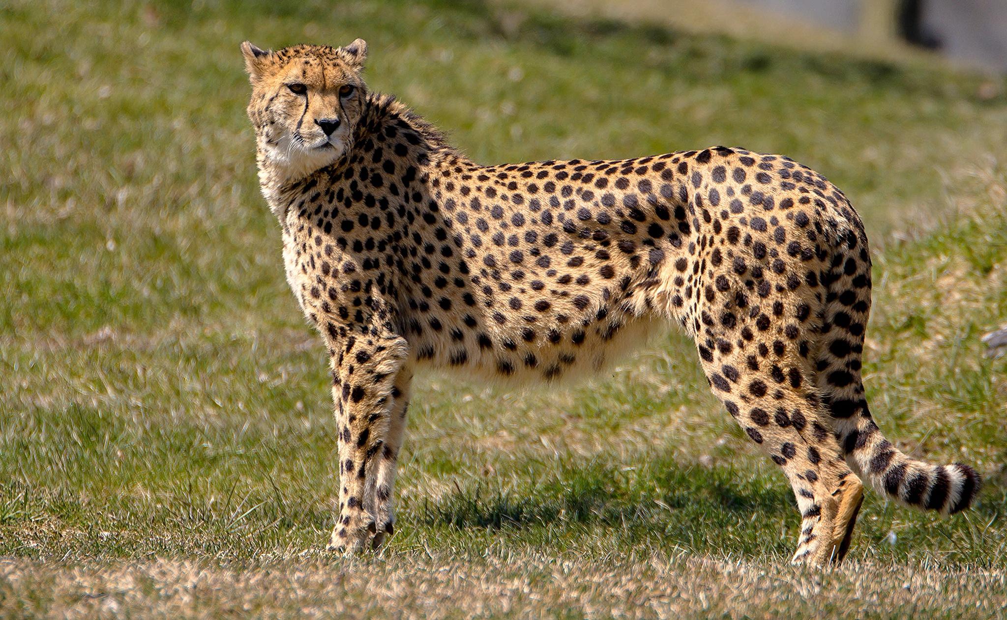 большие картинки гепарда отметила, что
