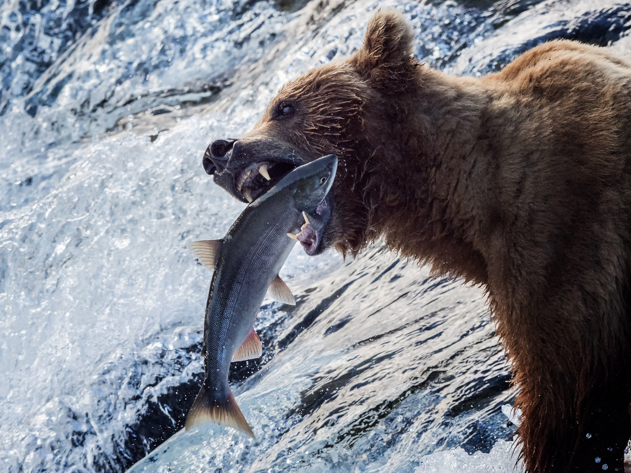 Bears Catching Salmon Images, Stock Photos Vectors Shutterstock Pictures of bears fishing