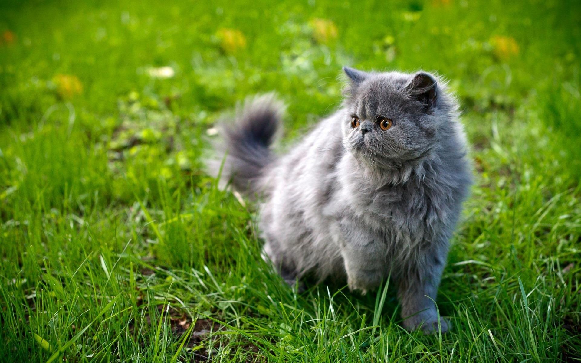 Картинки персидской кошки на рабочий стол