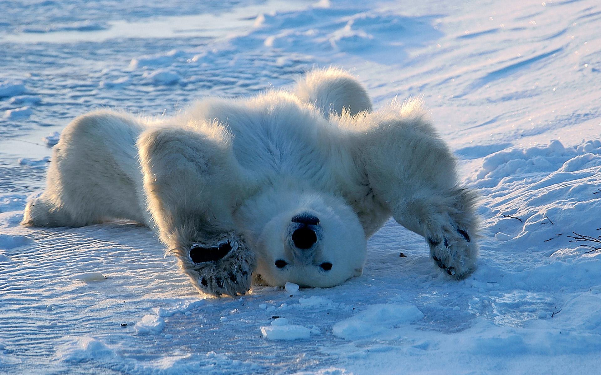 поступающие смешная картинка белого медведя направление