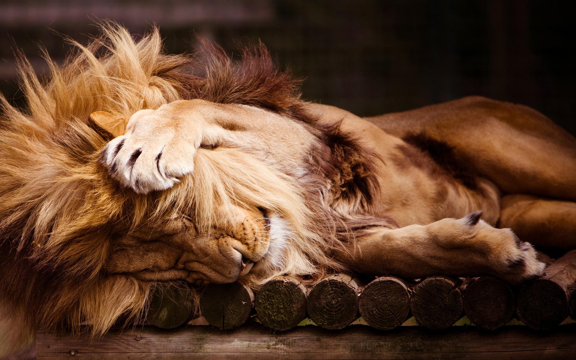 открытка со львом с добрым утром имеет