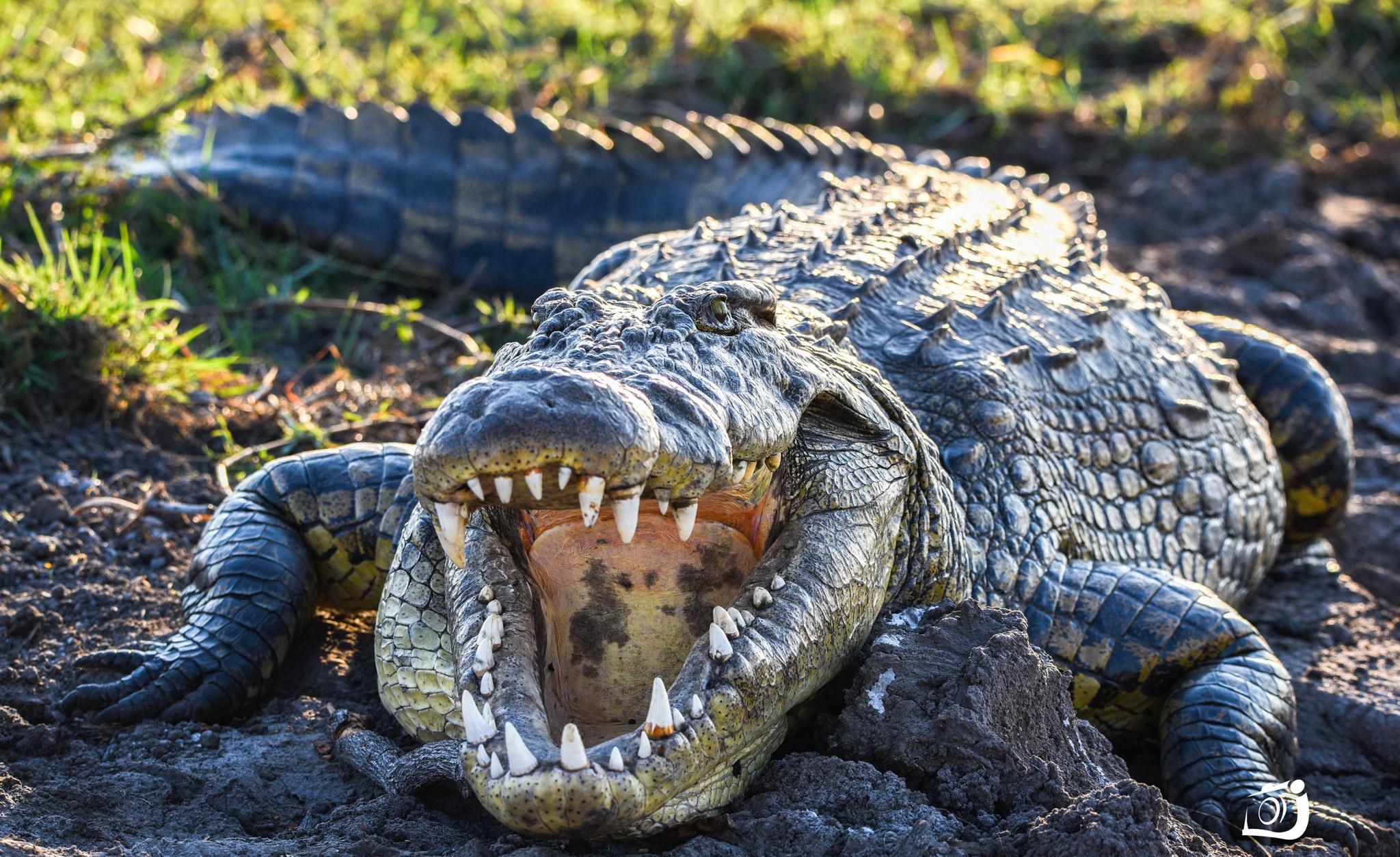 картинка крокодил в африке кожистые, без перьев