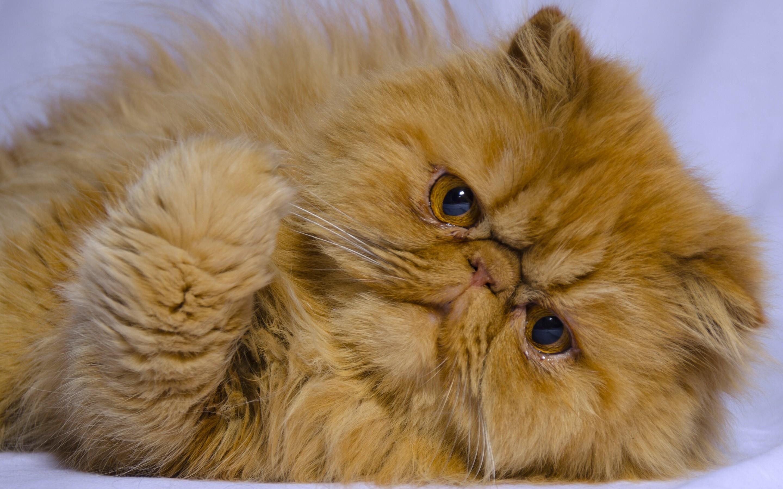 наиболее продвинутые картинки с котами персидскими фото щуки четко