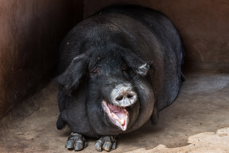 Свинья наглая картинки