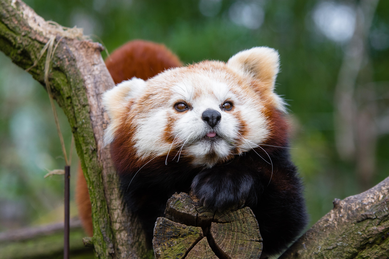 Фото картинки малая панда