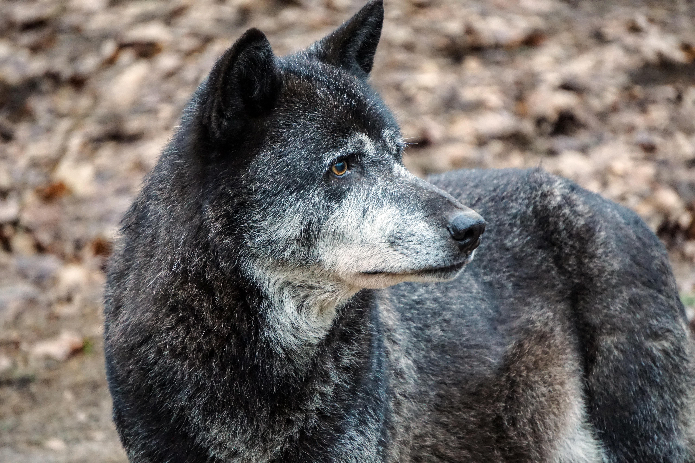 Картинки волков черных