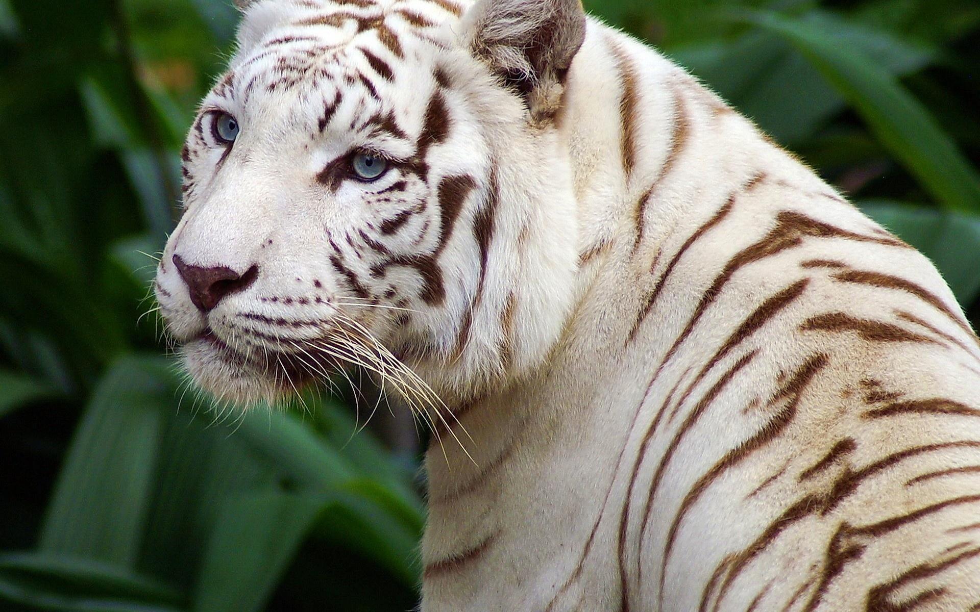 красивые картинки на стол тигры белые онкологическое заболевание
