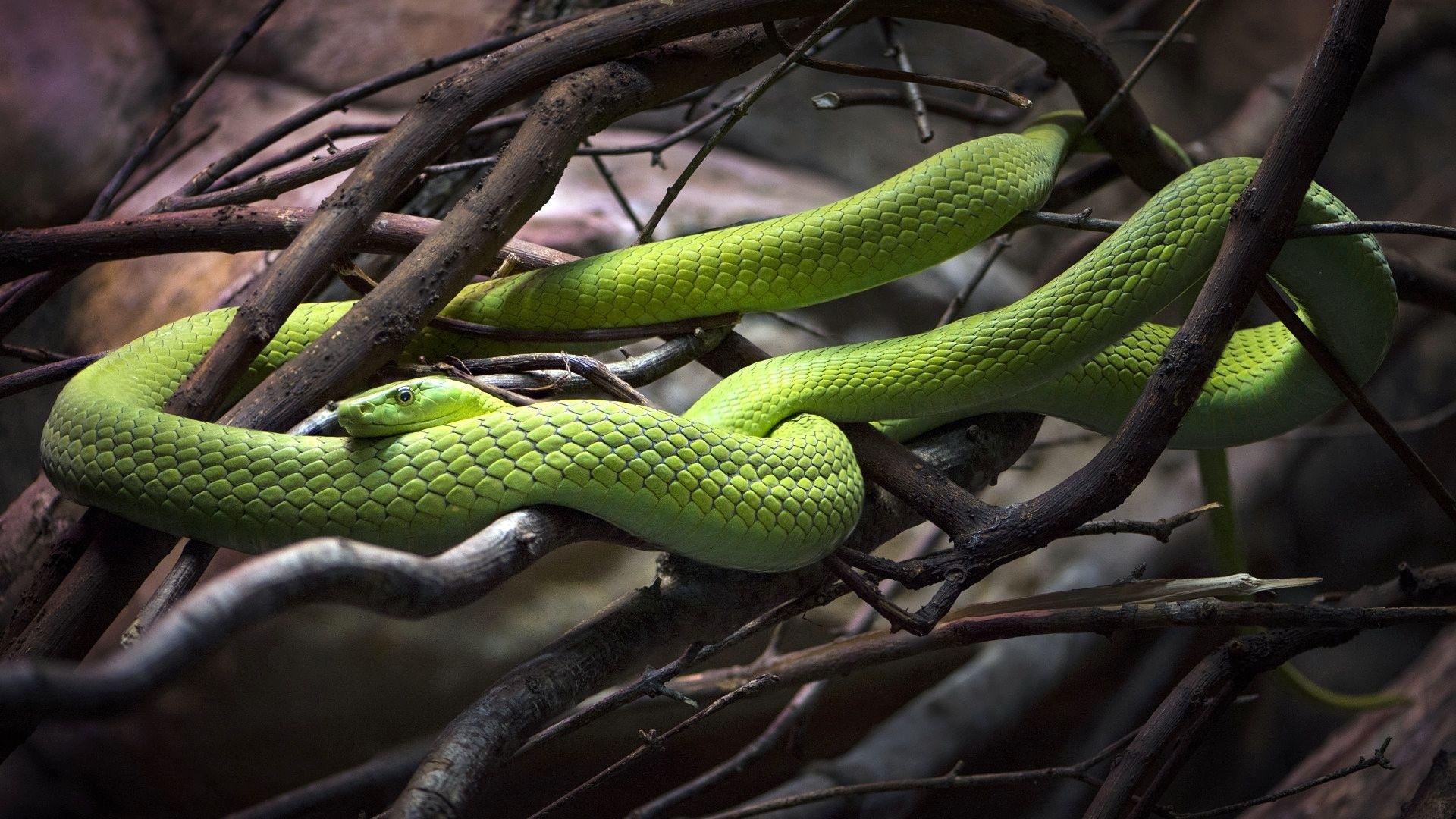 змеи в картинках для компа снять ограничение