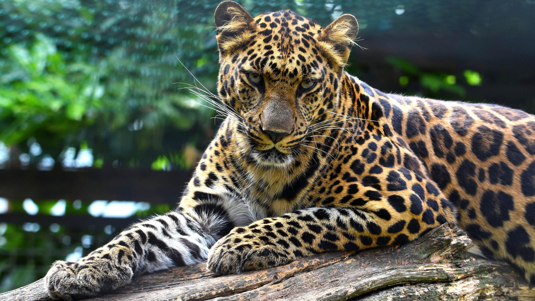 Обои поза, боке, черно-белый, природа, кот, лежит, лето, Кошка, фон, морда, отдых, чёрный, Котя, Kote, желтые глаза, зелены, трава. Кошки foto 12