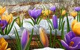 цветы, снег, весна