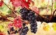 листья, виноград, осень, ягоды, урожай, плоды, лоза, грозь