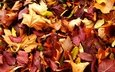 nature, autumn, red yellow leaves