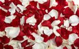 rose, petals, red, white