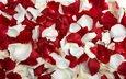 роза, лепестки, красные, белые