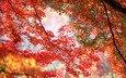 деревья, ветки, осень, красные, оранжевые, кленовые листья