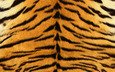 tiger, strips, skin, fur, striped