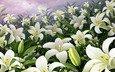 цветы, сад, лилии, почки