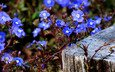 flowers, small, blue