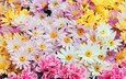 flowers, spring, chamomile