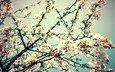 цветы, ветка, весна, вишня