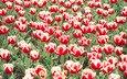 цветы, тюльпаны, тюпан