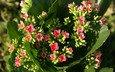цветы, каланхоэ