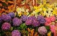 цветы, лилии, клумба, гортензия
