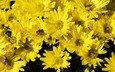 цветы, желтые, хризантемы