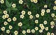 цветы, лепестки, белые, лапчатка