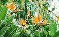 стрелиция, райский цветок