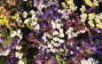 цветы, петуния