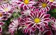 цветы, фиолетовые, с желтым