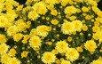 цветы, хризантемы