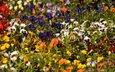 цветы, разноцветные, анютины глазки