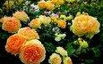 flowers, roses, garden