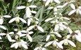 цветы, подснежники