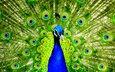 птицы, павлин, перья, красивый, хвост
