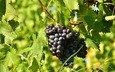 листья, виноград, черный, гроздь, солнечно